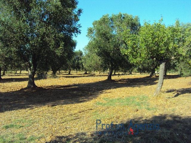 Vendita terreni ad uliveto secolare s vito dei n for Vendita alberi da frutto adulti