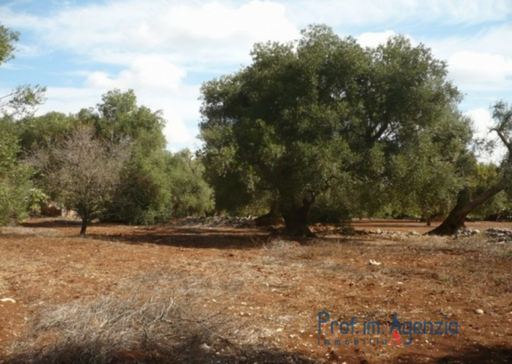 Sale Plots of land Ceglie Messapica - A beautiful land cultivated with old centuries olive grove  Locality Agro di Ceglie Messapica
