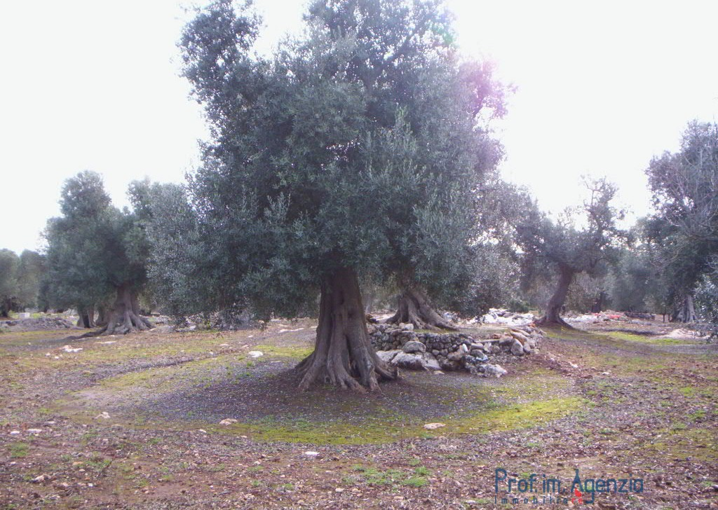 Sale Land plots with centuries-old olive groves Carovigno - Land cultivated with olive grove  Locality Agro di Carovigno