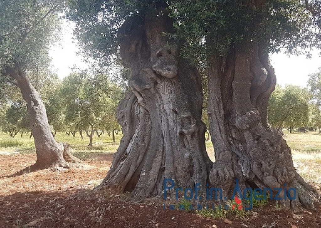 Sale Land plots with centuries-old olive groves Carovigno - Secular olive groves terrain  Locality Agro di Carovigno
