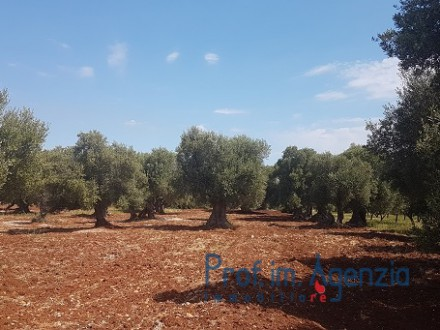 Secular olive groves terrain