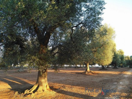 Plot of land with centuries old olive grove