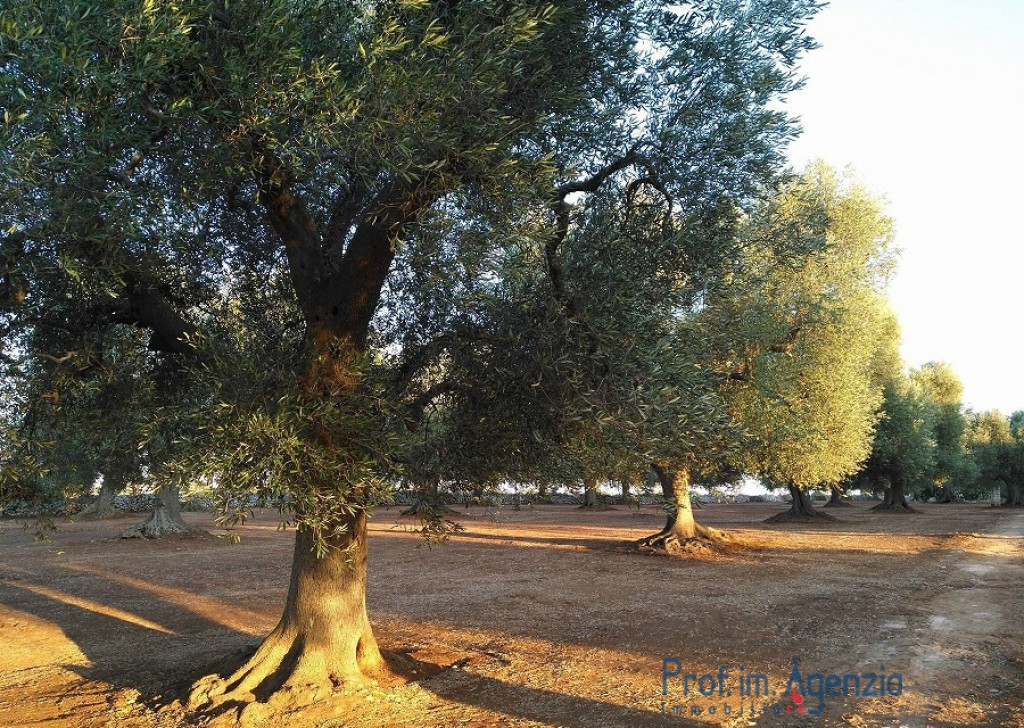 Sale Land plots with centuries-old olive groves S. Vito dei N. - Plot of land with centuries old olive grove Locality Agro di San Vito dei Normanni