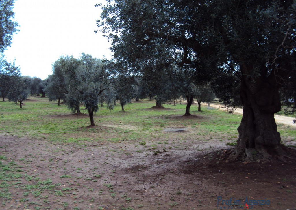 Sale Land plots with centuries-old olive groves Carovigno - Land with centuries-old olive grove Locality Agro di Carovigno