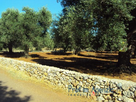 Plot of land planted with centuries-old olive grove
