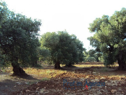 Land with centuries-old olive grove
