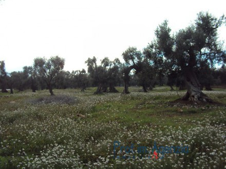 Land cultivated with hundreds of years old olive grove