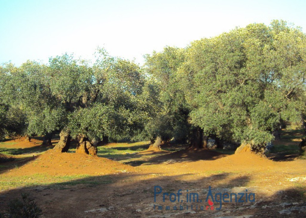 Sale Sea view plots of land Carovigno - Wonderful plot of land sea view cultivated with old centuries olive groves Locality Agro di Carovigno