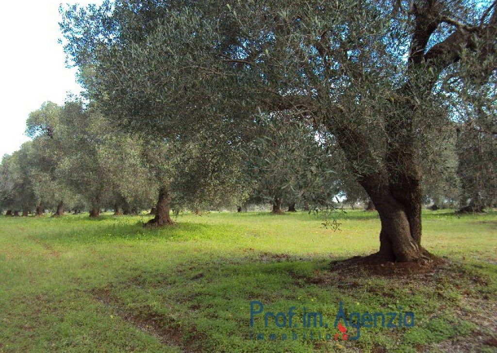 Sale Land plots with centuries-old olive groves Carovigno - Land with beautiful centuries-old olive groves  Locality Agro di Carovigno