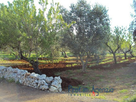 Splendid olive grove and almond trees with possibility to build up to 100 sq m with veranda and pool.