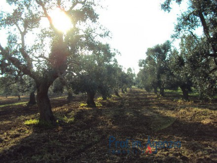 Bellissimo plot of land with centuries-old olive grove.