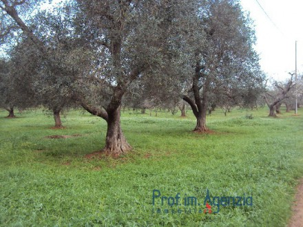 Agricultural land cultivated with olive grove in a good corner position