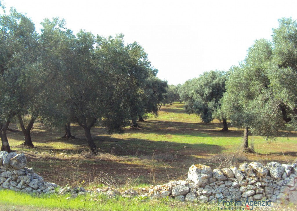 Sale Land plots with centuries-old olive groves San Michele S. - Fascinating land located at the corner of the street Locality Agro di San Michele Salentino
