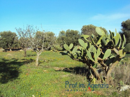 Very beautiful plot of land sea view cultivated with olive grove and almond threes