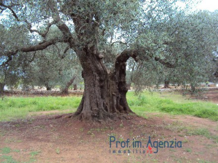 Splendid predominantly level land with about 90 centuries-old olive plants