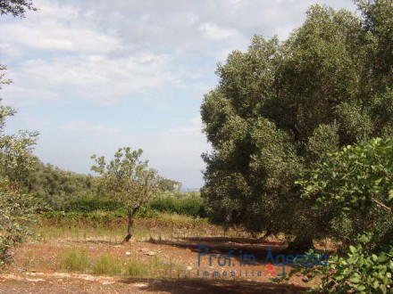 A wonderful olive grove, very close to the sea.
