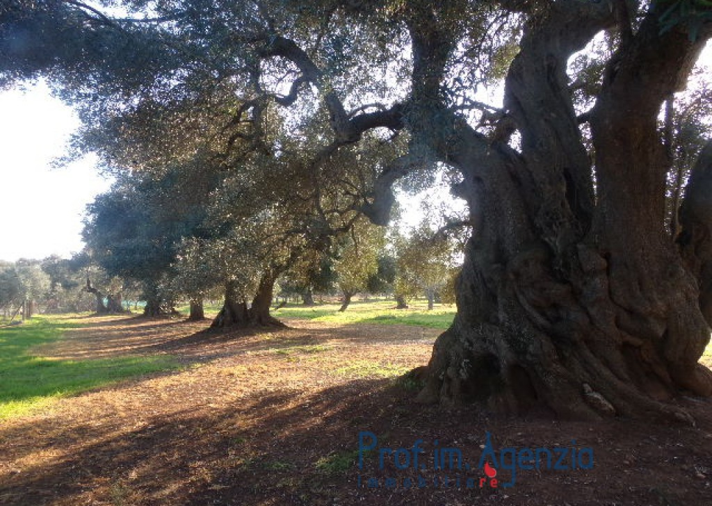 Sale Land plots with centuries-old olive groves Carovigno - Interesting wide plot with old-centuries olive groves  Locality Agro di Carovigno