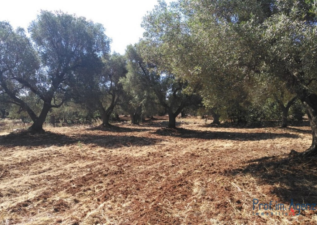 Sale Land plots with centuries-old olive groves Carovigno - Land with century-old olive grove Locality Agro di Carovigno
