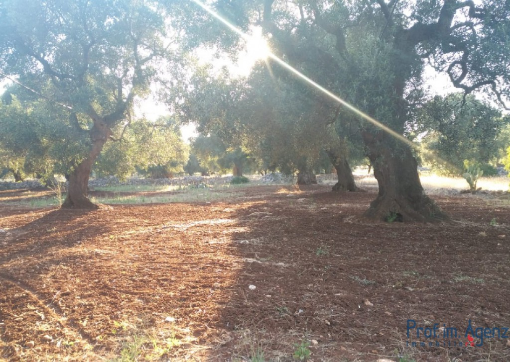 Sale Land plots with centuries-old olive groves Carovigno - Land with thousand-year-old olive grove  Locality Agro di Carovigno