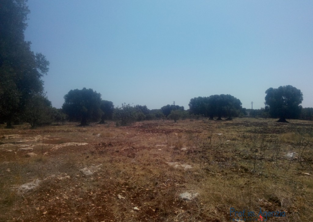 Sale Land plots with centuries-old olive groves Carovigno - Beautiful wide flat land cultivated with old-centuries olive groves Locality Agro di Carovigno
