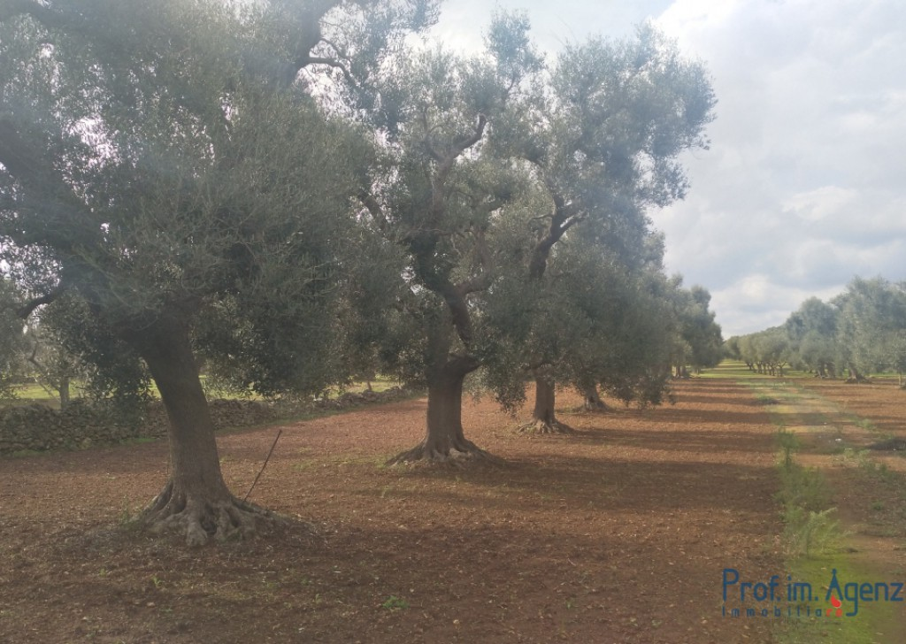 Sale Land plots with centuries-old olive groves Carovigno - Land planted with centuries-old olive grove  Locality Agro di Carovigno