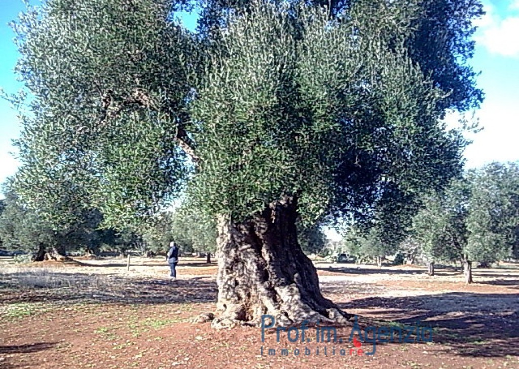 Sale Land plots with centuries-old olive groves Carovigno - Interesting land with some beautiful an hundred years old olive trees Locality Agro di Carovigno