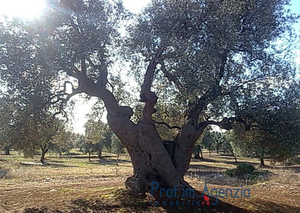 Sale Land plots with centuries-old olive groves Carovigno - Land with some beautiful an hundred years old olive grove  Locality Agro di Carovigno
