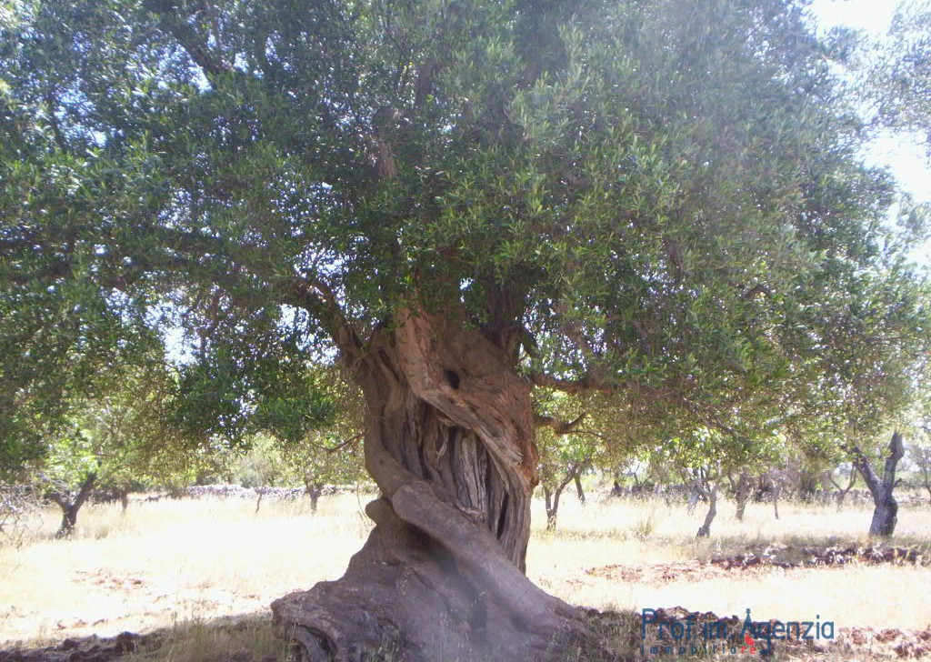 Sale Plots of land Carovigno - Vast  land with centuries-old olive grove Locality Agro di Carovigno