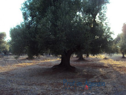 Beautiful plot of land with centuries-old olive grove.